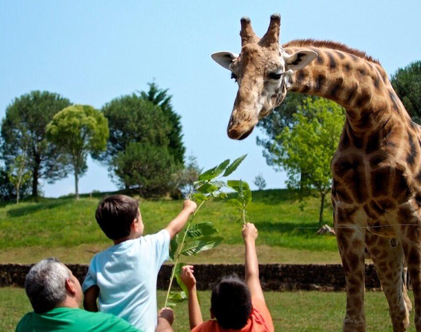 Niños dando comer a una girafa en Cabárceno